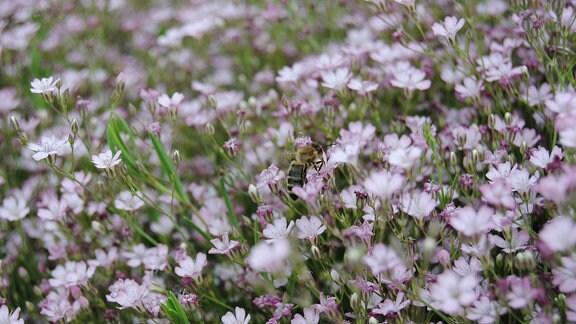Eine Biene sitzt auf einer von zahllosen hellrosa Blüten vom Schleierkraut