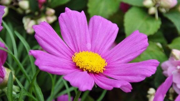 Eine offene lilafarbene Blüte mit gelbem Stempel.