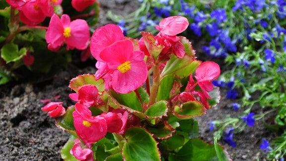 Eine Blume mit rosa Blüten und grünen Blättern in einem Beet. Im Hintergrund sind kleine, blaue Blüten zu sehen.