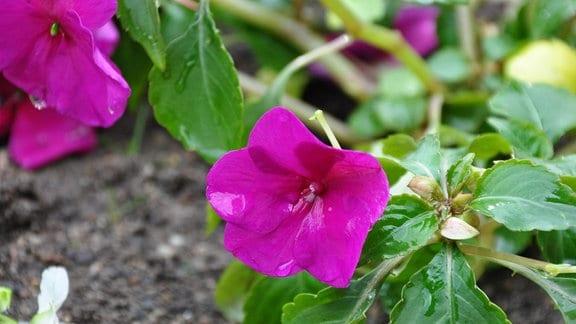 Lilafarbene Blüte mit Regentropfen in Nahaufnahme.