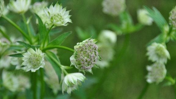 Weiße Blüten einer Sternendolde in Nahaufnahme
