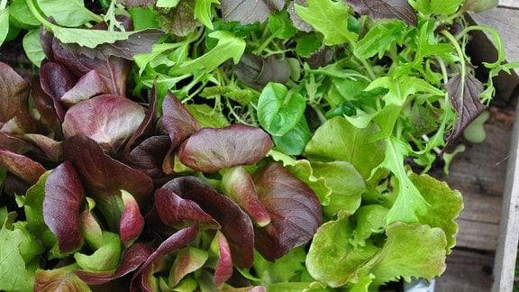 verschiedene, grüne Salatsorten in einer Holzstiege