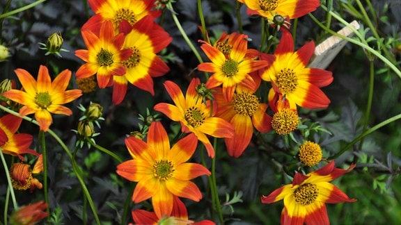 Große, rot-gelbe Blüten in der Nahaufnahme.