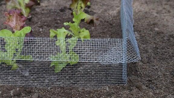 Salatpflanzen werden von einem Schneckengitter eingezäunt.