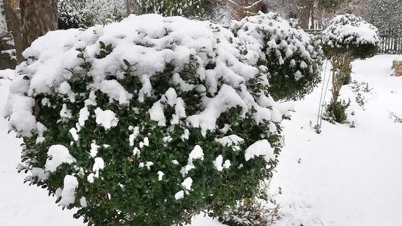Buchsbäumchen mit Schneedecke im Winter
