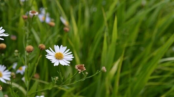 Blüten der Schönaster