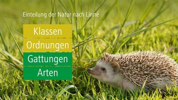 Grafik:  Einteilung der Natur nach Linné:  Klassen --> Ordnungen --> Gattungen --> Arten