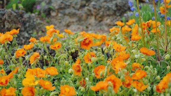 Zahlreiche ornagefarbene Blüten vom Sonnenröschen in einem Steingarten