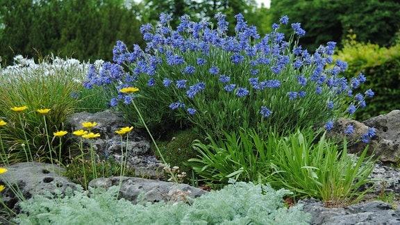 Eine blau blühende Felsen-Moltkie wächst in einem Steingarten
