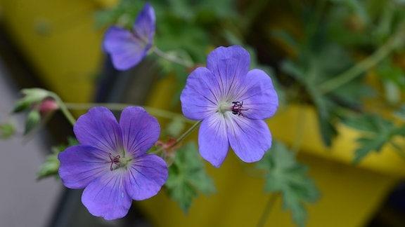 Lila Blüten des Storchschnabels