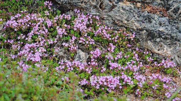 Winzige rosa Blüten des polsterartig wachsenden Thymians in einem Steingarten