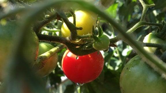 Tomatenpflanze mit reifen Tomaten