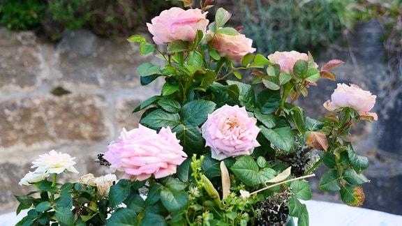 Rose in einem Blumentopf