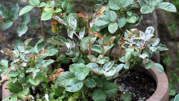 Blätter einer Topfrose mit grauem Schleier - Mehltau - auf den Blättern