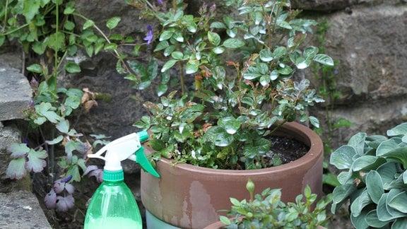 Rose in einem Blumentopf mit einer Flüssigkeit gegen Mehltau behandelt