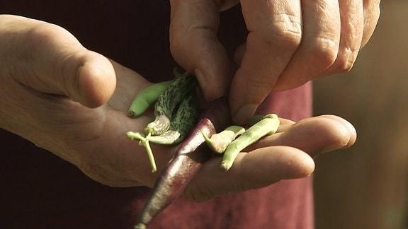 Auf einer Hand liegen lange Bohnen