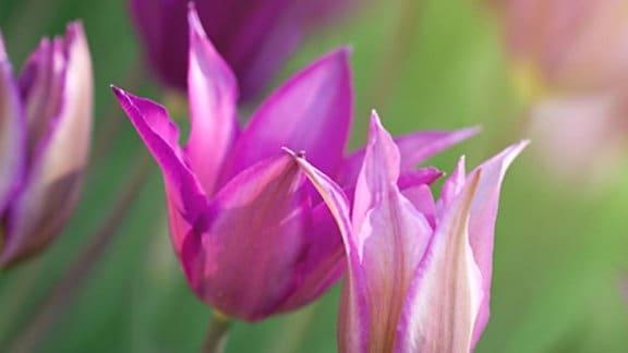 Tulpen in hellvioletter Tönung