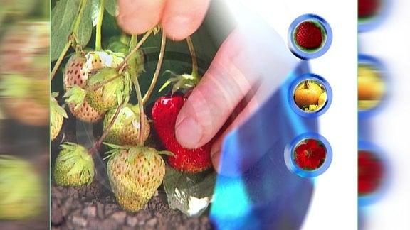 Grafisch gestaltetes Bild mit Erdbeeren aus dem Vorspann der ersten MDR Gartensendung