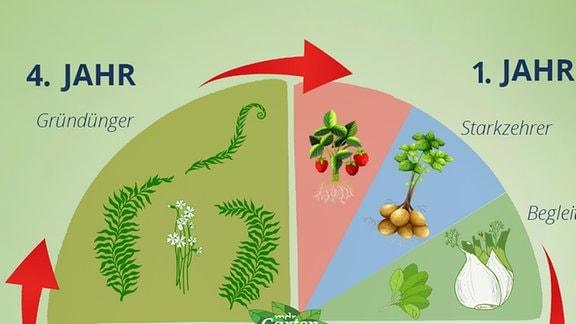 Grafik: Kreisdiagram das den Pflanzenwechsel in vier Jahren grafisch darstellt.  Vierfelderwirtschaft im Jahresverlauf