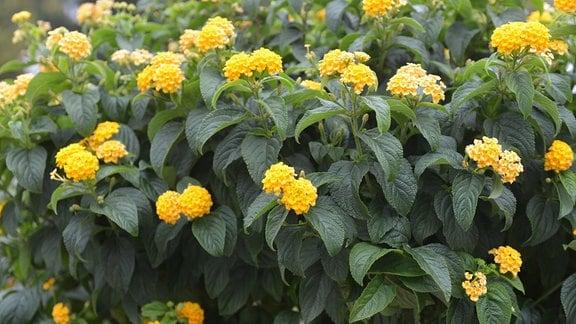 gelbe Blüten des Wandelröschens