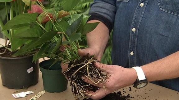Die Wurzeln einer Anthurie werden von Erde gesäubert.