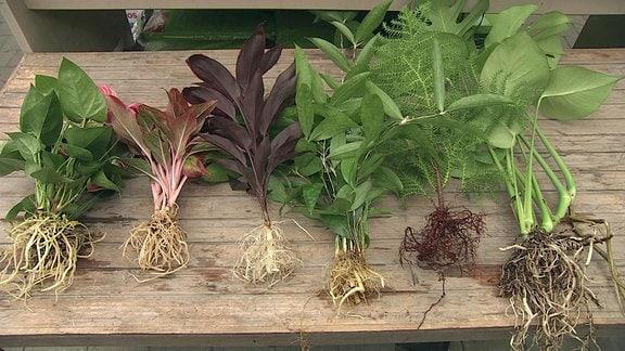 Waterplants - Es eignen sich vor allem feuchtigkeitsliebende Pflanzen für die Kultivierung im Glas.
