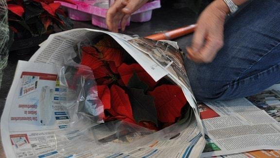 Eine Pflanze mit roten Blütenblättern wird in Zeitung eingerollt.