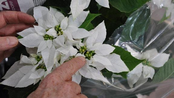 Ein Finger zeigt auf die Knospen eines weiß blühenden Weihnachtssterns.
