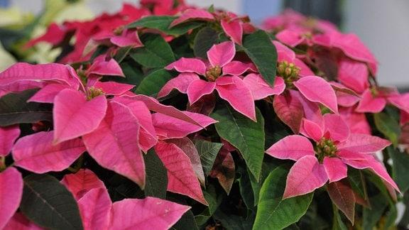 Nahaufnahme einer Pflanze mit vielen pinken Blütenblättern, im Hintergrund sind weitere rote und weiße Blüten zu erahnen.