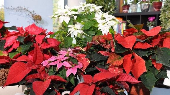 Pflanzen mit vielen roten, weißen und pinken Blüten stehen dicht beeinander.