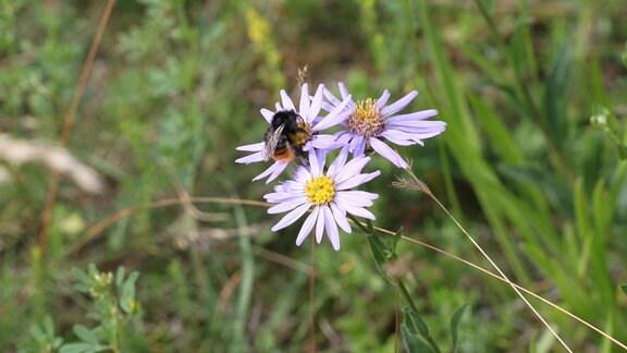 Aster mit Wildbiene auf einer Wiese