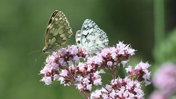 Falter sitzt auf der Blüte des Dosts