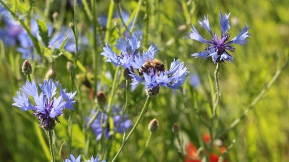 Biene sitzt auf einer Kornblumenblüte