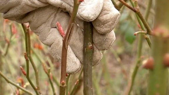 Wildtriebe von Rosen entfernen