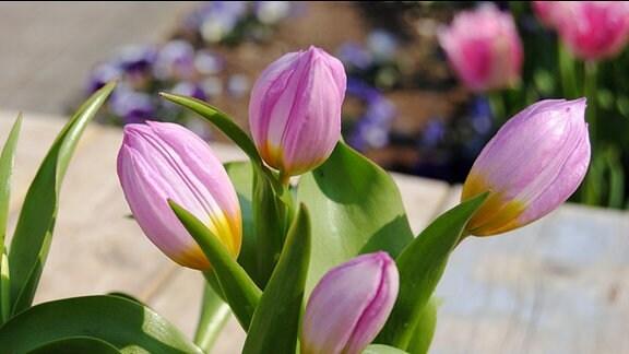 Tulpen mit hellrosa Blüten