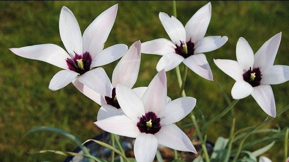 Weiße, sternförmige Tulpen mit dunklem Fleck in der Mitte der Blüte