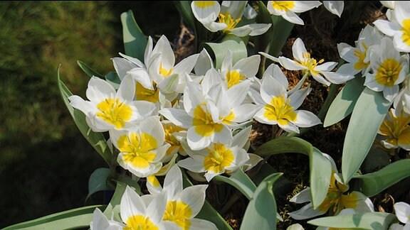 Kleine Tulpen mit weiß-gelben Blüten in einem Gefäß