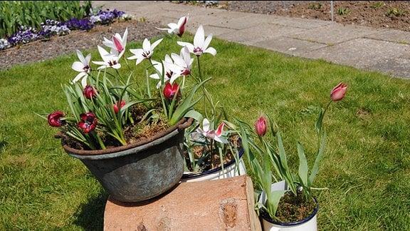 Weiß-rot blühende Tulpen mit weit geöffneten Blüten