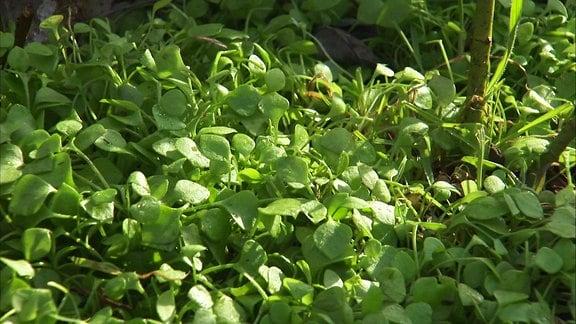 Eine krautige Pflanze von niedrigem Wuchs mit hellgrünen, herzförmigen, fleischigen Blättern, die auch Tellerkraut oder Postelein genannt wird