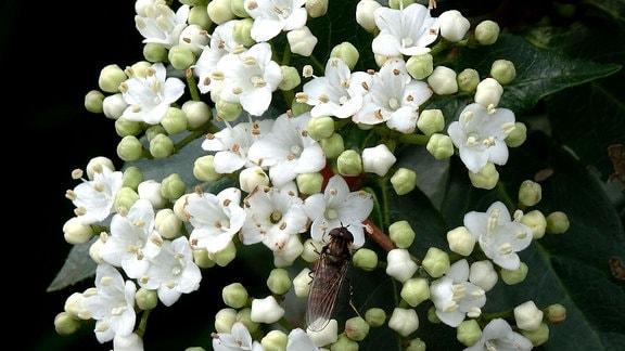 Bereits im zeitigen Frühjahr treibt der Winterschneeball seine weißen Blüten aus, und schon das eine und andere Insekt wird vom Duft angelockt.