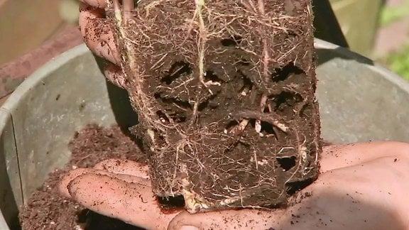 Wurzelballen mit Ameisengänge