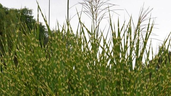 Ziergräser Pflanzen Pflegen Kombinieren Mdrde