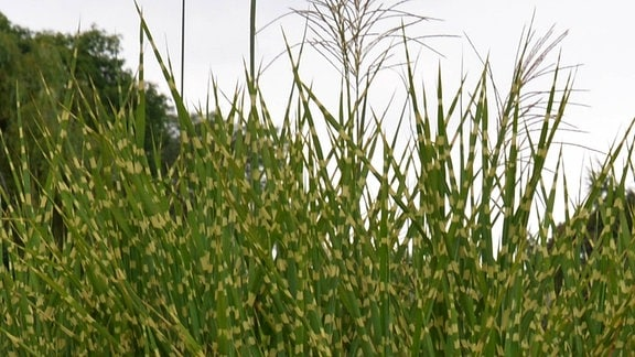 Zebragras mit einer besonderen Blattfärbung. Die grünen Halme haben gelbe Flecken.