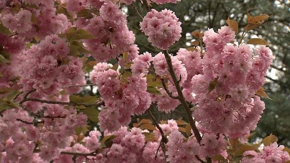 Gefüllte rosa Blüten an einer Zierkirsche