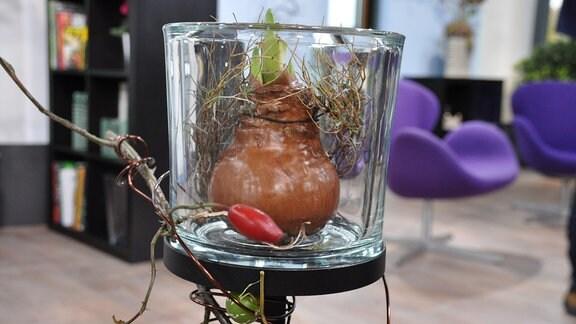 Eine braune Blumenzwiebel mit einem grünen Trieb steht in einem Glas auf einer Metallhalterung. Die Halterung ist mit Holz, Draht und einer Hagebutte geschmückt.