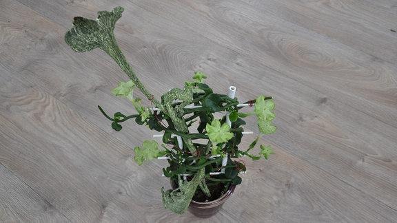 bl hende zimmerpflanzen eine auswahl mdr de. Black Bedroom Furniture Sets. Home Design Ideas