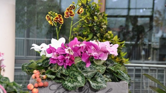 Alpenveilchen mit weißen und verschieden rosafarbigen Blüten und Orchidee mit rot-gelben Blüten in einer grauen Holzkiste. Auf der Kiste steht in dunkler, kursiver Schrift: Soft Drinks.