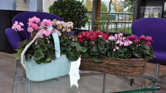 Auf einem Glastisch stehen ein Holzblumentopf und ein hellblaues Plastekörbchen. In beiden Gefäßen wachsen Alpenveilchen in verschiedenen Rot-, Rosa- und Weißtönen.