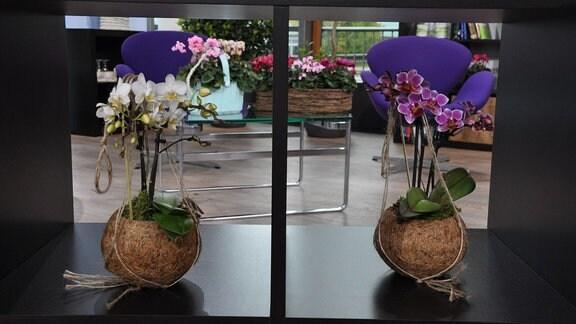 Zwei Orchideen stehen in braunen, kugelrunden Blumentöpfen in zwei quadratischen Regalfächern.