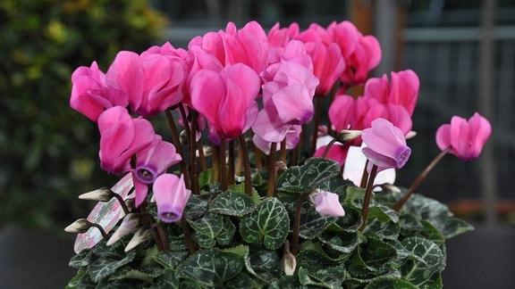 Viele rosafarbene Blüten mit grünen Blättern.